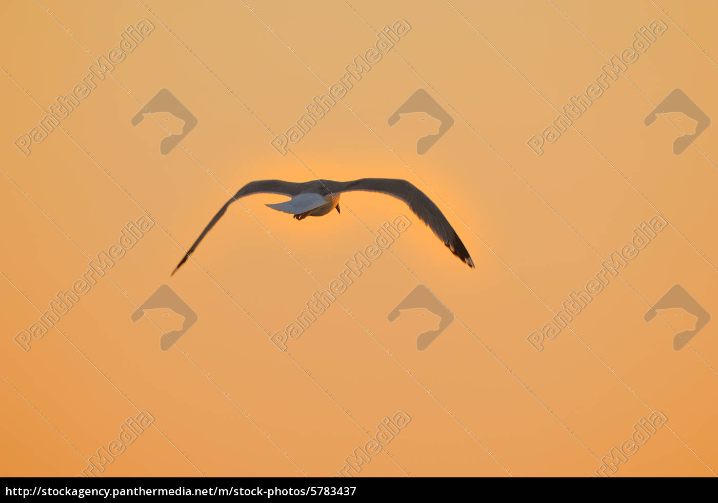 mövenflug, bei, sonnenaufgang - 5783437