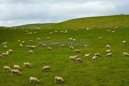 bandada de ovejas