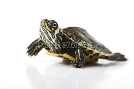 tortuga aislado en blanco