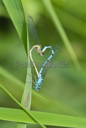 guldsmed libelle mate kaerlighed i kaerlighed