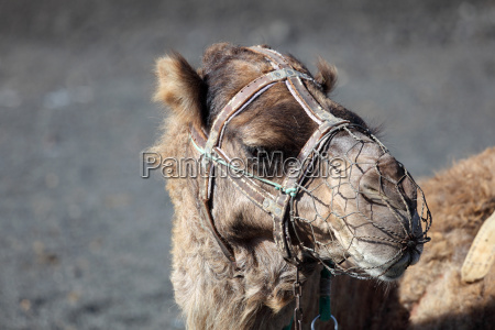 camel waiting for tourists in national