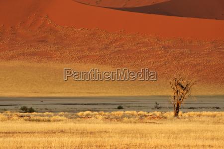 arbol desierto hierbas duna acacia paisaje