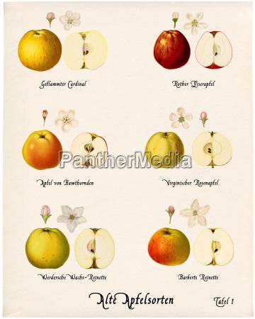 collage old apple varieties tabla 1