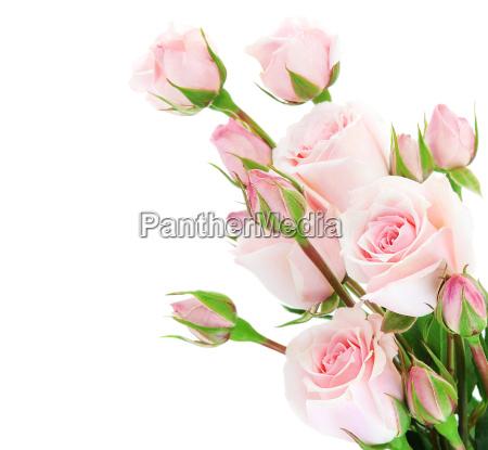 frontera fresca de las rosas