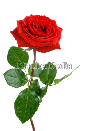 el perfecto de rose