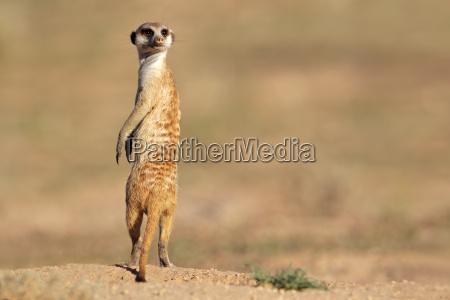 meerkat en protector