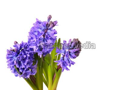 hyacinth flower gift