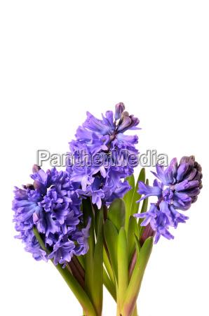 hyazinthe flower gift