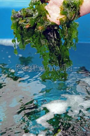 cultura de la lechuga de mar