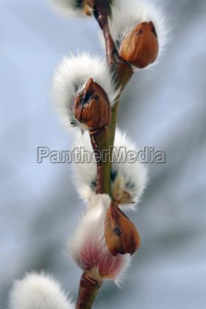 spring messengers soft catkins