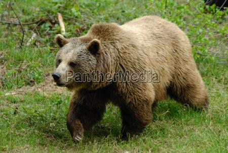 oso pardo en el parque nacional