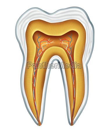 anatomia medica del diente