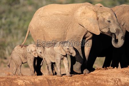 elefante africano con terneros