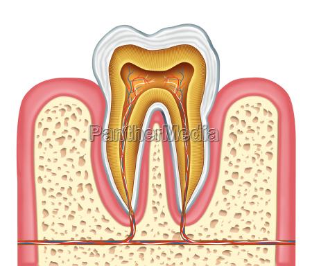anatomia de un diente humano sano