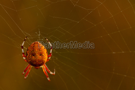 marbled spider araneus marmoreus