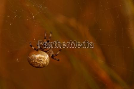 four spotted spider araneus quadratus