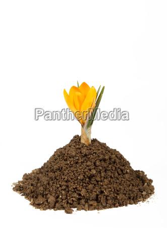 pequenya planta crocus pila de crecimiento
