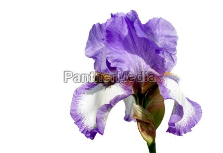opcional insecto flor planta lirio caucasico