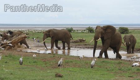 africa elefante tanzania