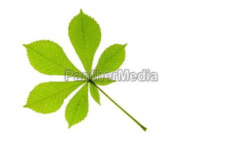 opcional hojas pagina castanyo