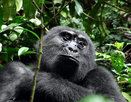 retrato de gorila