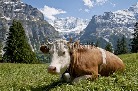 vaca delante del fiescherhoernern