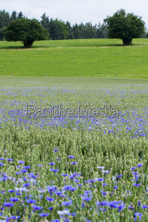 cornflowers in the wheat field bavaria