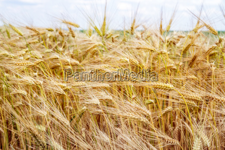 barley field in bavaria close up