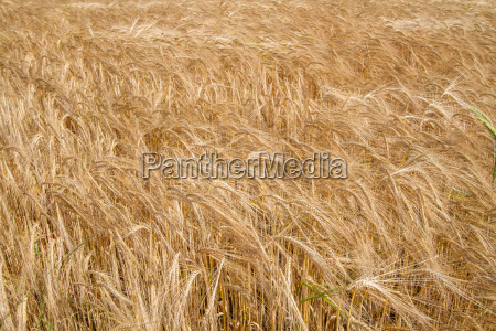 barley field in bavaria