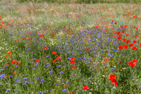 poppies cornflowers on a field in