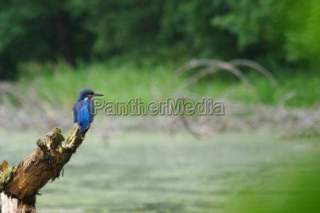 el kingfisher alcedo atthis