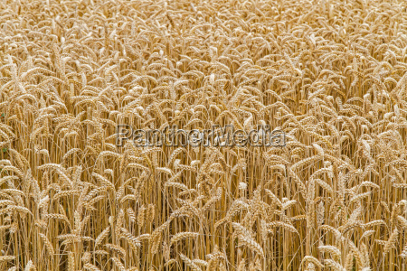 wheat field ready for harvest