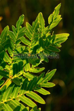 royal fern osmunda regalis
