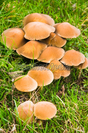 mushrooms in grass in fall