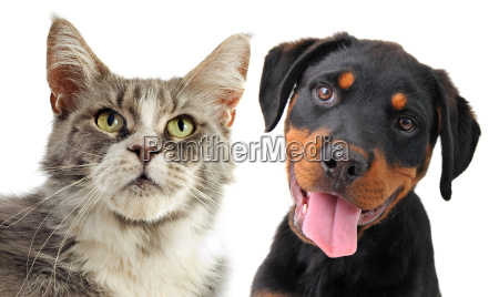 maine coon gato y cachorro rottweiler