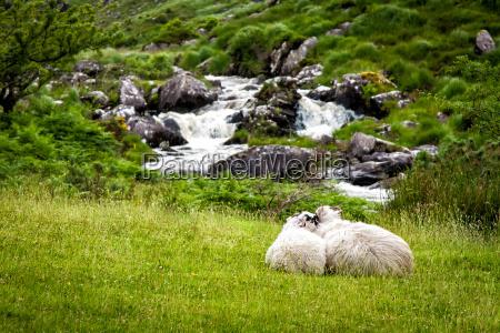 ovejas acurrucadas
