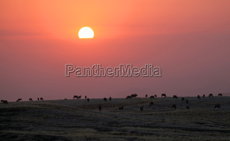 oryx herd en namib naukluft park