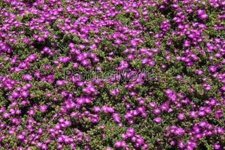 verde africa namibia purpura