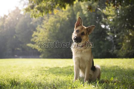 joven purebreed perro alsaciano en el