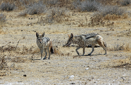 africa namibia chacal