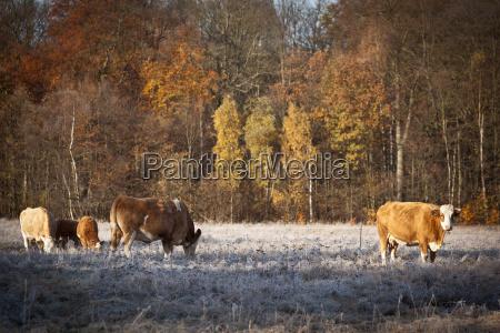 animal ganado masacre prado bosque