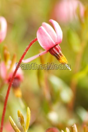 flowering of ordinary cranberry vaccinium