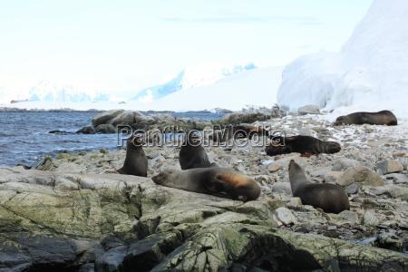 los leones marinos en la antartida