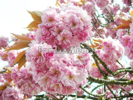 arbol flor flores planta primavera cereza