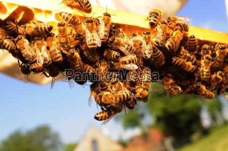 los animales las abejas apicultura panal