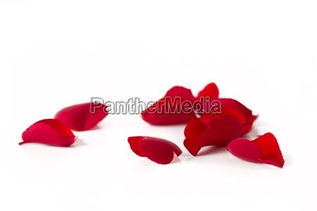 caucasico rosas dia de la madre