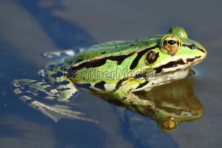 primer plano animal verde flotar rana