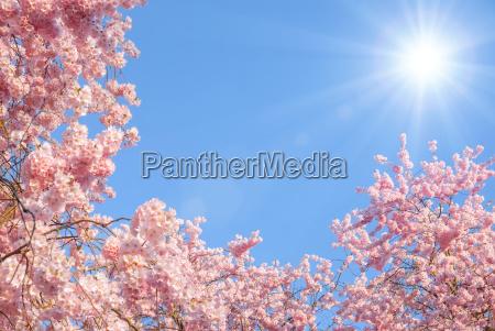 la floracion de los cerezos y