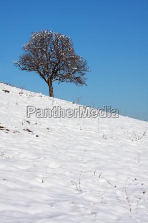 winter cold snowy oak snow plant
