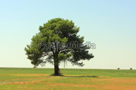 arbol pino campo ancho prado eslovenia